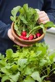 Equipaggi il ravanello di raccolto del giardiniere dal giardino di verdure del contenitore sulla b immagine stock