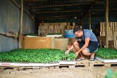 Equipaggi il vassoio della tenuta dell'agricoltore di piantine sull'azienda agricola Fotografia Stock