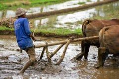 Equipaggi l'aratura del giacimento del riso in Bali, Indonesia Fotografia Stock Libera da Diritti