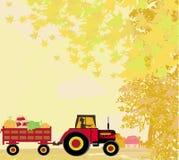 Equipaggi l'azionamento del trattore con un rimorchio pieno delle verdure in autum Immagini Stock