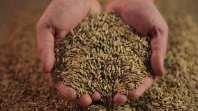 Equipaggi la presa della manciata di grano, agricoltore che mostra il raccolto al compratore, alimento di alta qualità archivi video