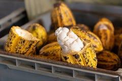 Equipaggi la tenuta della frutta matura del cacao con i fagioli dentro fotografia stock libera da diritti