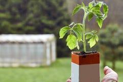 Equipaggi la tenuta della piantina del pomodoro che cresce in pacchetto di carta del latte Immagini Stock Libere da Diritti