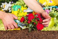 Equipaggi le mani facendo uso delle forbici su una pianta rossa dei fiori Immagini Stock Libere da Diritti
