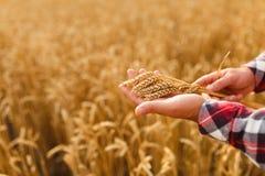 Equipaggi le orecchie della tenuta di grano su un fondo un giacimento di grano L'agricoltore dell'agronomo si preoccupa per il su Fotografia Stock Libera da Diritti