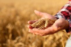 Equipaggi le orecchie della tenuta di grano su un fondo un giacimento di grano L'agricoltore dell'agronomo si preoccupa per il su Fotografia Stock