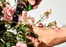 Equipaggi preoccuparsi per un cespuglio di rose nel suo giardino fotografie stock
