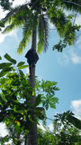 Equipaggi scalare una palma appena usando le sue armi e gambe Immagini Stock