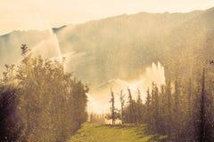 Equipaggia la vigna di annaffiatrici d'innaffiatura alla mattina dell'alba Impianto di irrigazione sopra contro il sole Fotografie Stock Libere da Diritti
