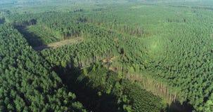 Equipamento especial do desflorestamento, vista do zangão O trabalho de ceifeira da floresta Abater da floresta grossa do pinho video estoque