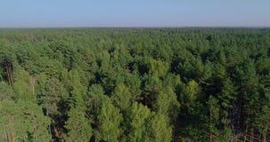 Equipamento especial do desflorestamento, vista do zangão O trabalho de ceifeira da floresta Abater da floresta grossa do pinho vídeos de arquivo