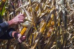 Equipe as mãos do ` s que escolhem o milho no campo em colher a estação do outono fotografia de stock