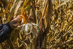 Equipe as mãos do ` s que escolhem o milho no campo em colher a estação do outono imagem de stock