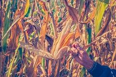 Equipe as mãos do ` s que escolhem o milho no campo em colher a estação do outono fotografia de stock royalty free