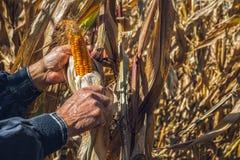 Equipe as mãos do ` s que escolhem o milho no campo em colher a estação do outono fotos de stock