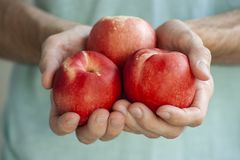Equipe as mãos do ` s que guardam três nectarina brancas Imagens de Stock Royalty Free