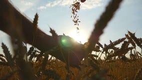 Equipe as mãos que derramam grões douradas do trigo maduro no por do sol A grão do trigo em um homem cede a colheita nova no camp video estoque