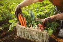 Equipe a cenoura e o tomate da colheita de uma cesta Fotografia de Stock Royalty Free