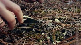 Equipe a coleta de cogumelos comestíveis na floresta no outono Charbonnier ou portentosum sooty do Tricholoma dos cogumelos da ca filme