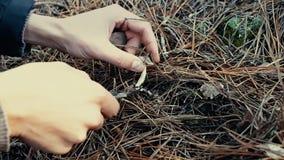 Equipe a coleta de cogumelos comestíveis na floresta no outono Charbonnier ou portentosum sooty do Tricholoma dos cogumelos da ca vídeos de arquivo