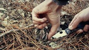 Equipe a coleta de cogumelos comestíveis na floresta no outono Charbonnier ou portentosum sooty do Tricholoma dos cogumelos da ca video estoque