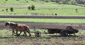 Equipe da mula de Amish fotografia de stock royalty free