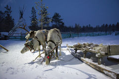 Equipe da rena de Sami na noite polar da barraca de Sami Foto de Stock