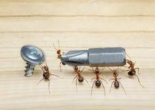 A equipe das formigas carreg a chave de fenda, trabalhos de equipa Fotografia de Stock Royalty Free