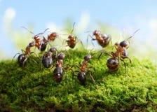 Equipe das formigas, dança dos caçadores Fotografia de Stock Royalty Free