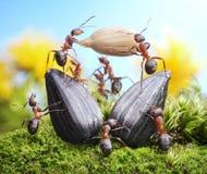 Equipe das formigas que colhem a colheita do girassol, trabalhos de equipa Foto de Stock Royalty Free