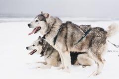 Equipe de cães de trenó em um blizzard na península de Kamchatka imagens de stock