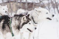 Equipe de cães de trenó em um blizzard na península de Kamchatka imagem de stock
