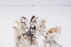 Equipe de cães de trenó em um blizzard na península de Kamchatka fotografia de stock