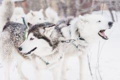 Equipe de cães de trenó em um blizzard na península de Kamchatka fotos de stock