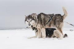 Equipe de cães de trenó em um blizzard na península de Kamchatka fotos de stock royalty free