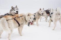 Equipe de cães de trenó em um blizzard na península de Kamchatka fotografia de stock royalty free