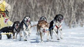 Equipe do Alasca running do cão de trenó Competência de cão Beringia do trenó de Kamchatka Fotos de Stock