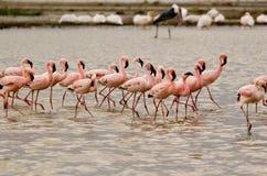 Equipe do flamingo Imagem de Stock Royalty Free