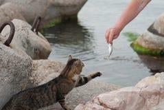 Equipe a doação de um peixe ao gato de gato malhado grande bonito perto do mar e das pedras fotos de stock royalty free
