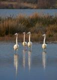 Equipe dos flamingos Fotografia de Stock Royalty Free