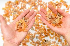 Equipe guardar as pedras ambarinas nas mãos do mar Báltico multicolored imagens de stock