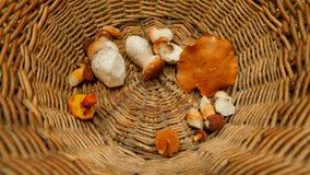 Equipe a mão que coloca cogumelos dos boletos na cesta de vime A ideia superior do fullfilmentv da cesta dentro da caça do cogume filme