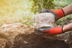 Equipe a mão que guarda a árvore nova para preparam a plantação no solo preto Fotos de Stock
