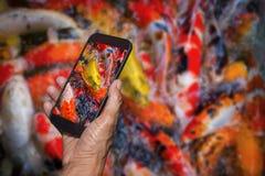 Equipe a mão que guarda e que usa a natação colorida dos peixes do koi da fotografia esperta do telefone Foto de Stock