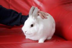 Equipe o afago de um coelho branco que senta-se em um sofá vermelho Fotografia de Stock Royalty Free