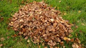 Equipe o ajuntamento da folha do outono no gramado gramíneo verde em uma pilha vídeos de arquivo