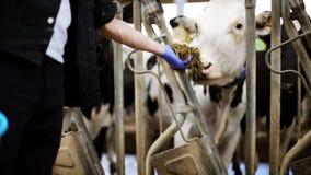 Equipe vacas de alimentação com feno no estábulo na exploração agrícola de leiteria filme