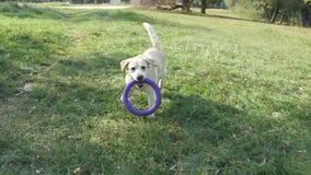 Equipe a vara ou o brinquedo de jogo para o animal para seus cães Labrador ou golden retriever que vão buscar a vara de madeira P vídeos de arquivo