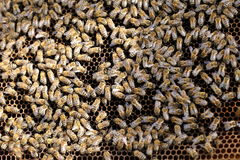 Equipo - abejas de trabajo de la miel Foto de archivo
