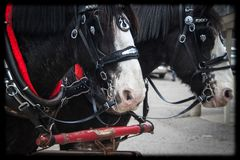 Equipo de caballos de Clydesdale enganchados a un carro fotografía de archivo libre de regalías